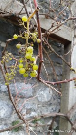 Grapes growing in the garden at Rothe House